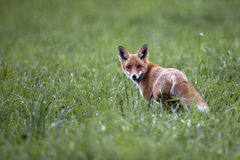 Fox in the wild Royalty Free Stock Photography