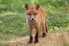 Fox in the wild Royalty Free Stock Photo