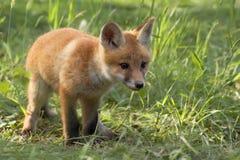 Fox in the wild Stock Photo