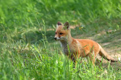 Fox in the wild Royalty Free Stock Images