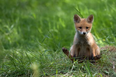 Fox in the wild Royalty Free Stock Photos