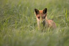 Fox in the wild, in a clearing Royalty Free Stock Photos