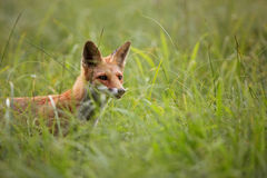 Fox in the wild, in a clearing Royalty Free Stock Photography