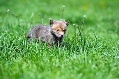 The fox in the wild Royalty Free Stock Images