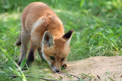 Fox in the wild Stock Photo