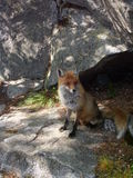 Fox. Wild fox in natural environment Royalty Free Stock Images