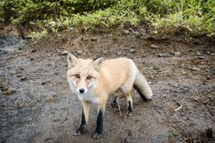 Fox in the wild. stock image