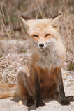 Fox in the Wild Stock Images