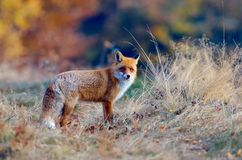 Fox in the wildlife Stock Photography