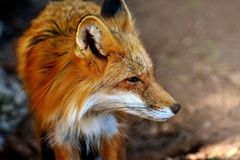 Fox, Wildlife, Red Fox, Mammal Stock Images
