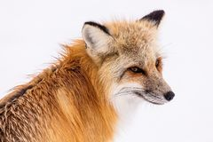 Fox, Wildlife, Red Fox, Mammal