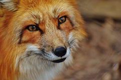 Fox, Wildlife, Red Fox, Mammal Stock Photos