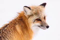 Fox, Wildlife, Red Fox, Mammal stock images