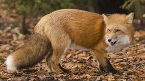 Fox. Wildpark Forest Bayern Germany Stock Photos