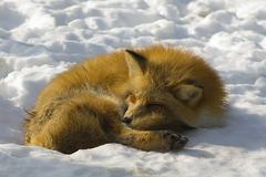 Fox in winter Stock Photos
