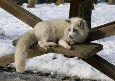 Fox in winter. Beautiful furry fox in winter season royalty free stock photo