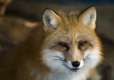 Fox in winter. Beautiful furry fox in winter season stock photo