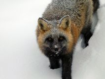 Fox in winter 2 Stock Photos