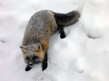 Fox in winter Stock Photography