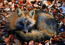 Fox in winter. A fox trying to stay warm in the winter Royalty Free Stock Images