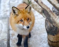 Fox in winter. Large portrait of a fox in winter stock photography