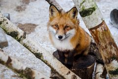 Fox in winter. Large portrait of a fox in winter stock images