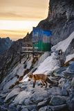 Fox in winter mountain at sunset. In unique please at Hight Tatra mountain, the most altitude toilet near house under Rysy. Image with high iso and grain stock photos