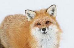 Fox during winter Royalty Free Stock Photos
