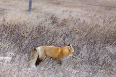 Fox in Winter Royalty Free Stock Photos