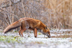 Fox in wintry countryside. Side view of red fox in wintry countryside Royalty Free Stock Images