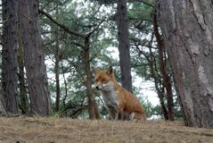 Fox In Woodland. Landscape view of a Fox in woodland stock photography