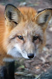 Fox in the woods. Mr. Fox surprised on his morning trip in the wood stock photography