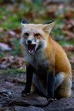 Fox wycie Obrazy Stock