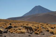 Fox y volcán cerca de San Pedro Foto de archivo libre de regalías