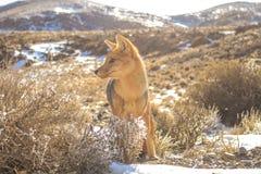Fox życie Fotografia Royalty Free