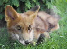 Fox. A young fox lying on the grass Royalty Free Stock Image