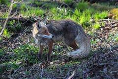 The fox Stock Image