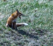 Fox ziewanie Obrazy Royalty Free