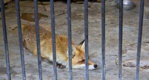 Fox in zoo Fotografie Stock Libere da Diritti