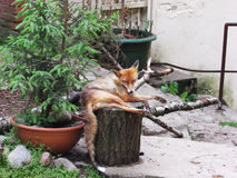 Fox-Zoo Stockbild
