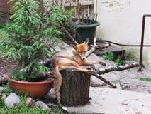 Fox zoo Stock Image