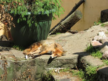 Fox zoo. Fox basks in the sun at the zoo in Kaunas Lithuania Royalty Free Stock Photography