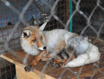 Fox in zoo Stock Image
