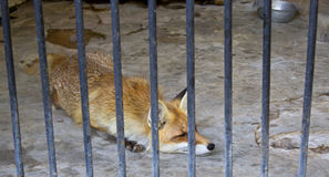 Fox in zoo. Single fox lying inside the cage in the city zoo of Nikolaev, Ukraine Royalty Free Stock Photos