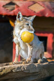 Fox in a zoo Vulpes corsac Stock Photos
