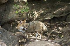 Fox zorro pampa in Uruguay Stock Photo