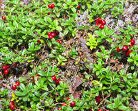 The foxberries. Vaccinium vitis-idaea (cowberry or lingonberry) is a short evergreen shrub in the heath family that bears edible sour fruit, native to boreal Royalty Free Stock Photography