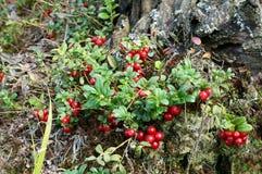Foxberry Стоковая Фотография