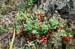 Foxberry Στοκ Φωτογραφία