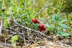 Foxberry Стоковая Фотография RF
